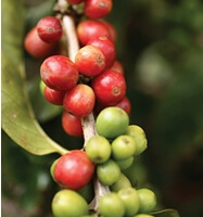 Priori CoffeeBerry