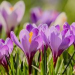 crocus in Springtime